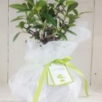 bombo_bonsai (1)